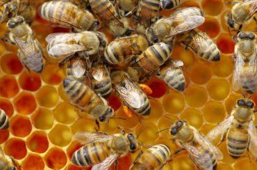 كيف يتم جني وفرز العسل